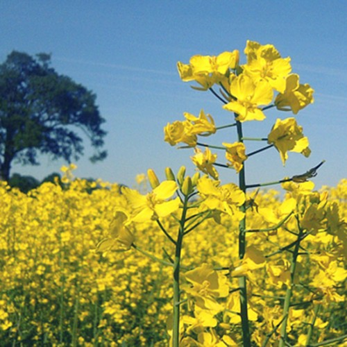 rapeseed_square